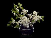 在玻璃花瓶的李子花 库存图片