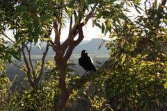在玻璃议院山的澳大利亚黑掠夺 库存照片