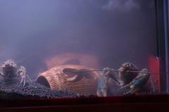 在玻璃门橱柜的河虾 图库摄影