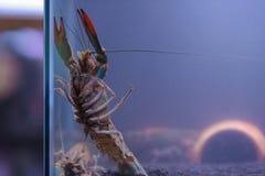 在玻璃门橱柜的河虾 免版税库存照片
