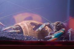 在玻璃门橱柜的河虾 库存图片