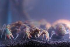 在玻璃门橱柜的河虾 库存照片