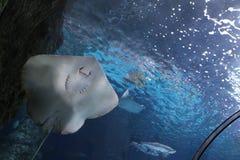 在玻璃隧道的黄貂鱼 库存图片