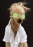 在黄瓜眼罩的长卷毛狗 库存照片