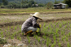 在稻田拉瑙的大农场主 免版税库存照片