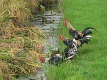 在稻田的公鸡 库存照片