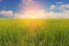 在稻田的日落视图 免版税图库摄影