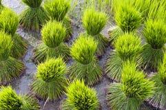 在稻田的米幼木 库存图片