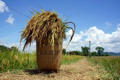 在稻田的米papoose 免版税库存图片