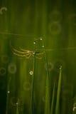 在稻田的蜘蛛 库存照片