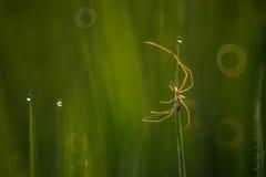 在稻田的蜘蛛 库存图片