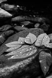 在黑白叶茂盛的分支的Waterdrops 免版税图库摄影