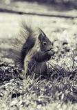 在黑白和特写镜头的一只灰鼠 免版税库存照片