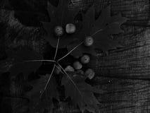 在黑白图象的橡子橡木 库存照片