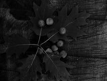 在黑白图象的橡子橡木 免版税库存图片
