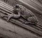 在黑白的一只青蛙 免版税库存照片