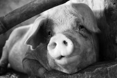 在黑白的一头猪 免版税库存照片