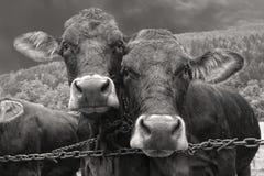 在黑白的两头母牛画象 库存照片