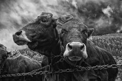 在黑白的两头母牛画象 图库摄影