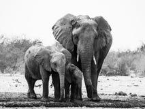 在黑白的大象家庭 免版税库存照片