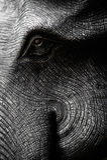 在黑白的大象头 库存图片