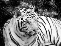 在黑白的孟加拉老虎 免版税图库摄影