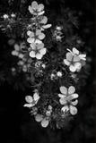 在黑白的开花的灌木 免版税库存照片