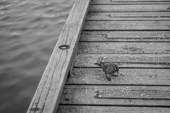 在黑白的很好feeded麻雀鸟 库存图片