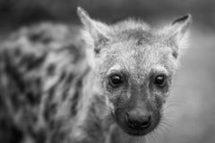 在黑白的担任主角的被察觉的鬣狗崽在克留格尔国家公园,南非 库存照片