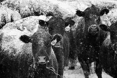 在黑白的斯诺伊母牛 库存照片