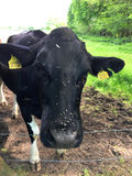 在黑白的母牛的头的许多飞行 库存照片