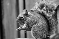 在黑白的灰鼠 免版税库存图片