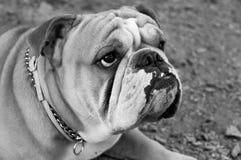 在黑白的牛头犬 免版税库存照片