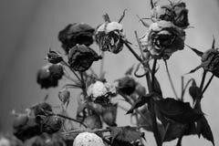 在黑白的玫瑰 免版税图库摄影