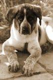 西班牙大型猛犬画象 库存图片