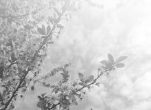 在黑白的退色的春天背景 免版税库存图片