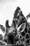 在黑白的长颈鹿 库存图片