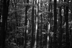 在黑白的绿树林 免版税图库摄影