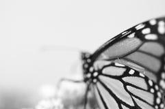 在黑白的黑脉金斑蝶 免版税库存图片