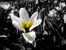 在黑白的黄色花 免版税库存照片