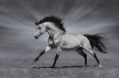 在黑白背景的疾驰的公马 免版税图库摄影