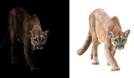 在黑白背景的美洲狮 库存图片
