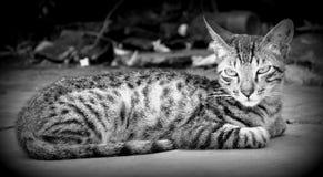 在黑&白色的猫 免版税库存图片