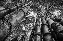 在黑&白色的竹子 库存图片