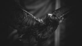 在黑白,美丽和强有力的鸟o的皇家老鹰 免版税库存照片