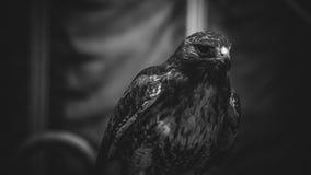 在黑白,美丽和强有力的鸟o的皇家老鹰 免版税库存图片
