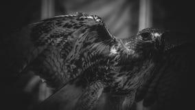 在黑白,美丽和强有力的鸟o的皇家老鹰 库存图片