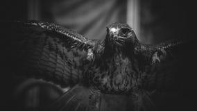 在黑白,美丽和强有力的鸟o的皇家老鹰 库存照片