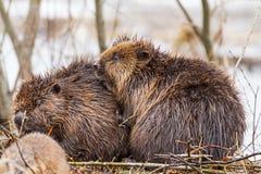 在洪水的一个海狸家庭 图库摄影