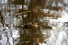 在水的一只唯一鸭子 库存照片